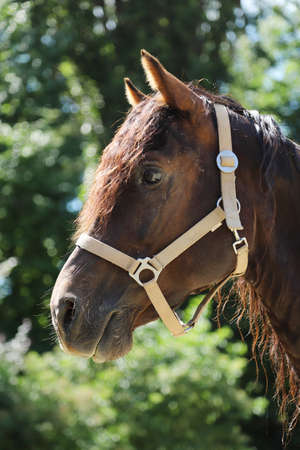 Headshot of a beautiful stallion. Adult morgan horse standing in summer corral near feeding station and other horses
