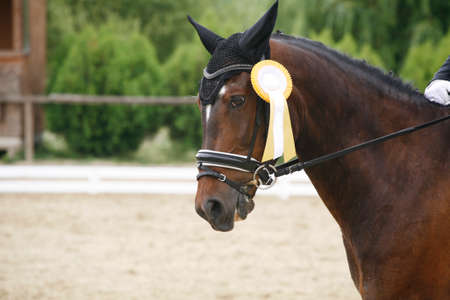 Colorful ribbons rosette is the head of an young award winner dressage horse on equitation event. Proud rider wearing badges on the winner horse after competitions
