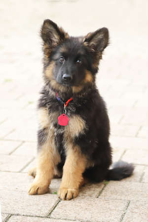 Portrait of a black and tan long-haired german shepherd puppy