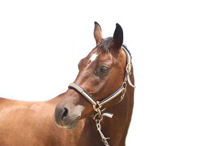 Thoroughbred stallion posing for cameras against white colored background
