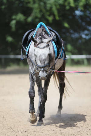 Close up of a gray colored saddle horse during training outdoors