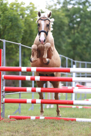 Young purebred horse loose jumping is a breeders event
