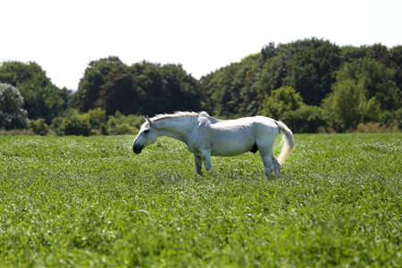 White veteran lipizzan horse grazing on a green meadow Banco de Imagens - 156749783