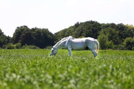 White veteran lipizzan horse grazing on a green meadow