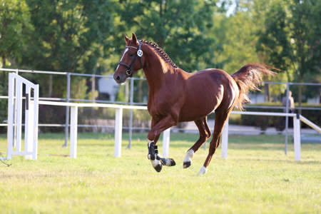 Rare breed young purebred saddle horse runs gallop on grass in summer corral