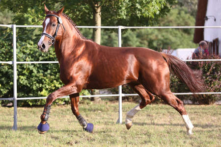 Rare breed young purebred saddle horse runs gallop on grass in summer corral Banco de Imagens - 156773284