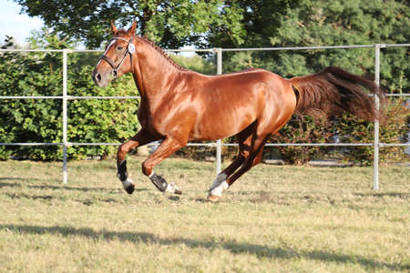 Rare breed young purebred saddle horse runs gallop on grass in summer corral Banco de Imagens - 156773287