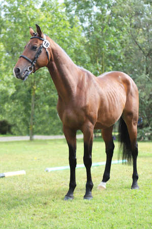 Beautiful chestnut horse posing for cameras on breeders inspection. Thoroughbred warm blooded horse posing for camera Stock Photo