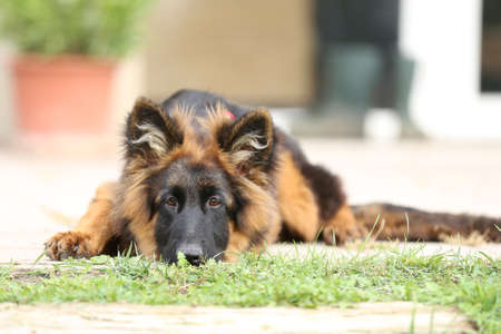 Photo of a black and tan long-haired german shepherd dog.