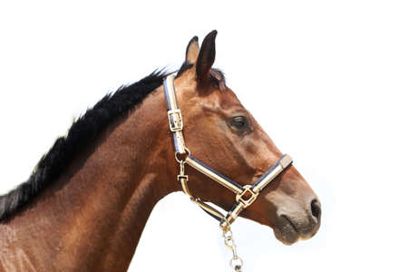 Side view portrait of a beautiful saddle horse on white background