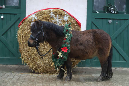 Beautiful portrait of a young pony horse wearing a Christmas wreath decoration as a Christmas background