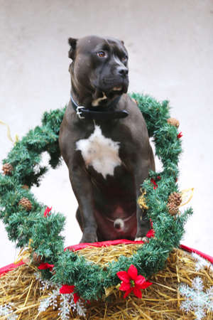 Black colored purebred american bulldog dog wearing a seasonal christmas wreath sitting in front of white wall on straw bale winter time