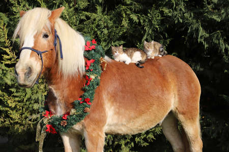 Adorable barn cat riding on a gentle saddle horse in winter time. Colorful christmas wreath hanging on a horse neck 免版税图像