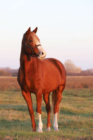 Beautiful Kisberian felver horse grazing on the hungarian sheer at sunset golden hour