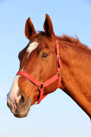 Close up of a beautiful Anglo-Arabian stallion against blue sky summertime at sunset