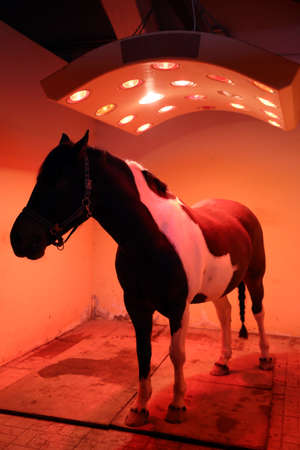 Young horse enjoying equine solarium at rural riding hall in winter time 免版税图像