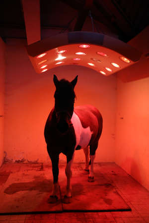 Young horse enjoying equine solarium at rural riding hall in winter time