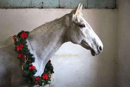 Gray colored saddle horse wearing a beautiful christmas wreath. Looking good at the viewer sideways with a gentle mood with copy space for greetings