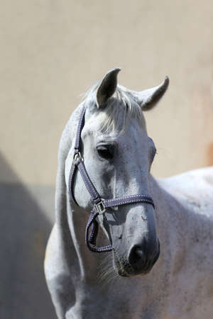 Face of a purebred gray horse. Portrait of beautiful gray mare. A head shot of a single horse. Gray horse close up portrait against gray background