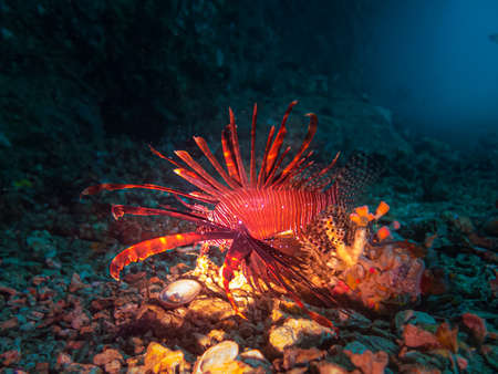 A Lionfish lit up with a torch near the entrance of a cave at Gato Island, Malpascua, Philippines Imagens