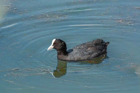 Eurasian coot (Fulica atra) a grey duck with white tip on the head. High quality photo. Blue water. Eurasian coot also known as the common coot, or Australian coot, Rallidae species
