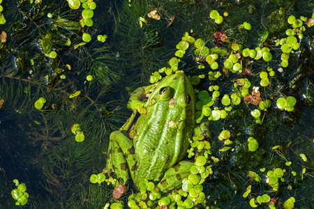 A green edible frog, Pelophylax kl. esculentus on a water lily leaf. Common European frog, Common water frog or green frog. High quality photo