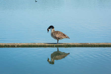 Canada goose (Branta canadensis). Reflection in the water. Blue water as a background. Picture from Scania, southern Sweden
