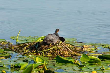 A grey duck with white tip on the head together with its duckling in the nest. High quality photo. Green water lilies and blue water. Eurasian coot (Fulica atra) also known as the common coot, or Australian coot, is a member of the rail and crake bird family, the Rallidae