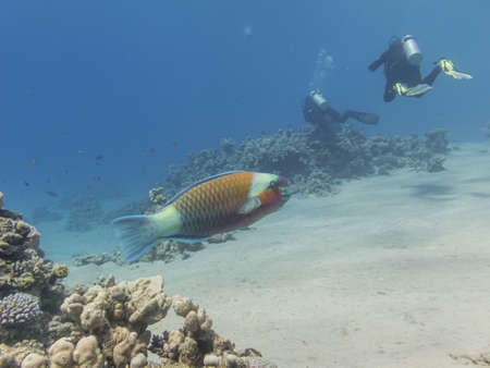 A parrotfish with two scuba divers in the background. Blue water, white sand. Picture from the Red Sea, near Hurghada, Egypt 免版税图像