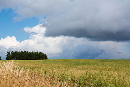 A wheat field with green trees in the background. Dark clouds. The picture was taken near Loddekopinge in Scania, southern Sweden