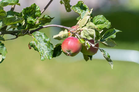 Close-up picture of red apples on a tree. Green leaves and a green, blurry background