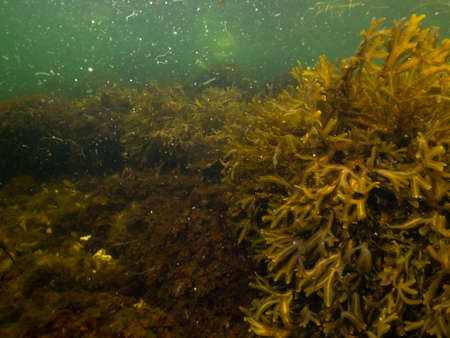 A closeup picture of beautiful Bladder Wrack, Fucus vesiculosus, in a healthy Northern European marine environment. Picture from Oresund, Malmo in southern Sweden