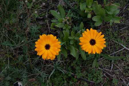 Two beautiful orange flowers on a field. Green background. Picture from Malmo, in southern Sweden