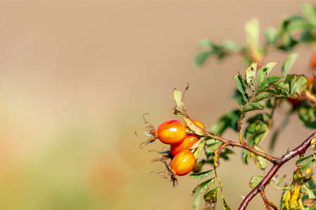 A closeup picture of red rosehip. A creamy light background