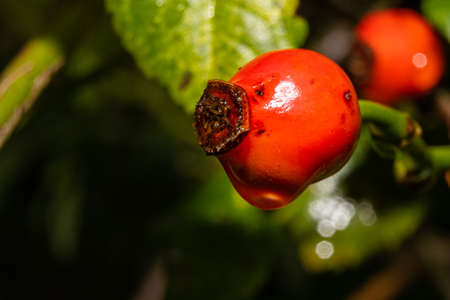 A closeup picture of red rose hip with a water droplet. Green leaves and dark background. Picture from Scania county, Sweden