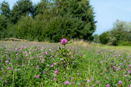 A field of pink clover flowers. Picture from Eslov, Scania county in Sweden