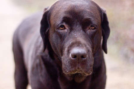two and two thirds: Portrait of a lovely, purebred, Labrador Chocolate
