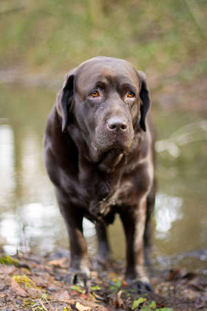 two and two thirds: Portrait of Labrador chocolate after taking a bath in a mud pool Stock Photo