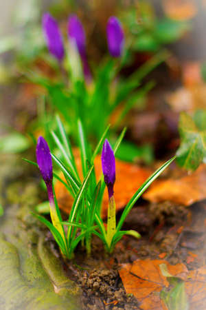two and two thirds: Liliac Crocuses, the first flowers of spring, just about to bloom