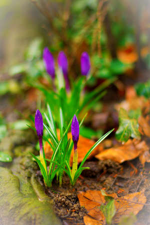 Liliac Crocuses, the first flowers of spring, just about to bloom  photo