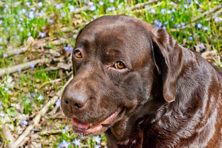 two and two thirds: Portrait of a lovely, purebred, Labrador Chocolate in spring against a field with flowers