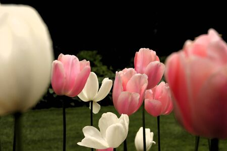 Tulips Banco de Imagens