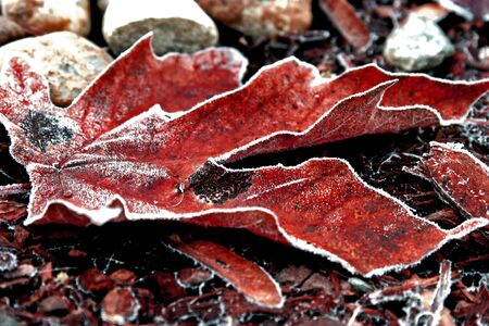 Red Frosted Leaf