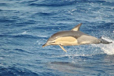 mediterraneo: Delfino a pelo dacqua Stock Photo