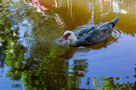 Grey and white Portuguese muscovy duck (Cairina moschata) swimming in a lake, Lisbon, Portugal