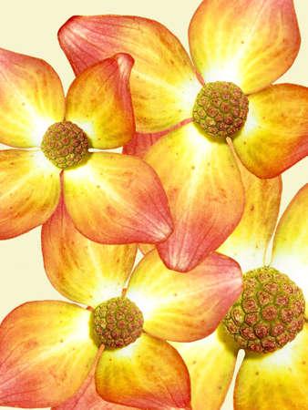Dogwood Flower Background Stock Photo - 2549006
