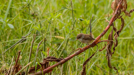 Female Superb fairywren in Australia 免版税图像
