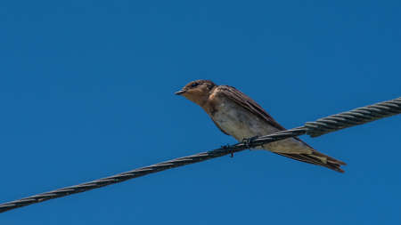Swallow bird in Australia perched on a power line against a blue sky 스톡 콘텐츠