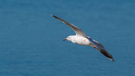 Silver Gull Flying in Australia