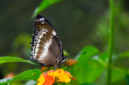A black and white butterfly
